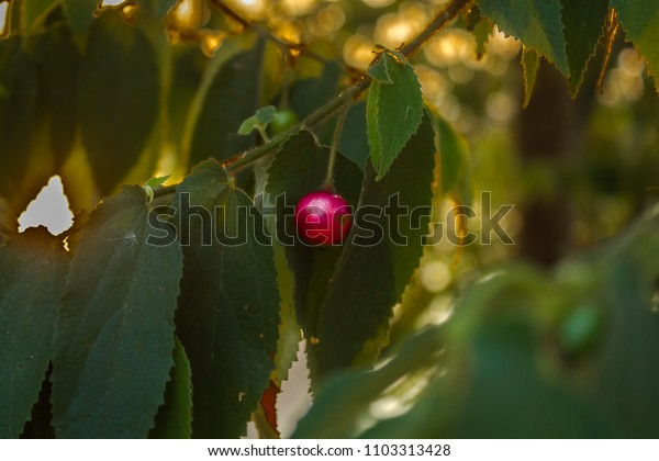 Cherry hanging on a tree with green leaves at sunset. Bokeh effect