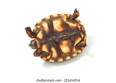 Cherry Head Red-footed Tortoise on white background.
