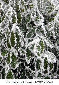 Cherry laurel leaves covered with rime