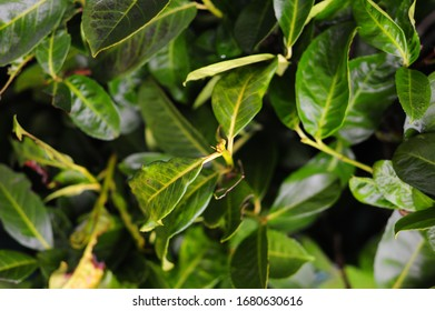 Cherry laurel leaves with a dark green color