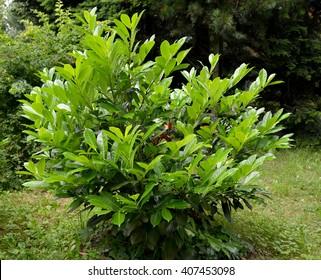 Cherry laurel medicinal (Laurocerasus officinalis M. Roem.)