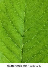Cherry leaf backgrouns