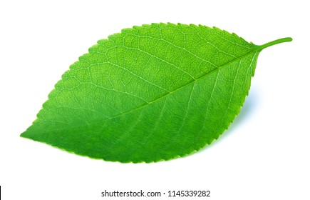 Cherry leaf isolated on a white background with clipping path. One of the best isolated cherry leaves that you have seen.
