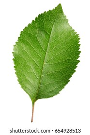 cherry leaf isolated on a white background