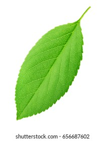 Cherry leaf isolated on a white