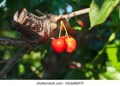 Cherry with leaf and stalk. Cherries with leaves and stalks. Big variety of cherries. Varieties: Frisco, red Giant, 3-13, Good harvest of juicy ripe cherries. Cluster of ripe cherries