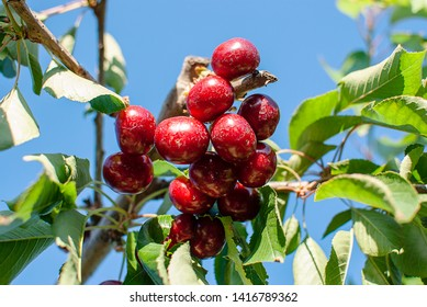 Cherry with leaf and stalk. Cherries with leaves and stalks. Big variety of cherries. Varieties: Frisco, red Giant, 3-13. Good harvest of juicy ripe cherries. Cluster of ripe cherries on cherry tree