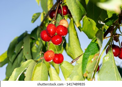 Cherry with leaf and stalk. Cherries with leaves and stalks. Big variety of cherries. Varieties: Frisco, red Giant, 3-13 Good harvest of juicy ripe cherries. Cluster of ripe cherries on cherry tree.