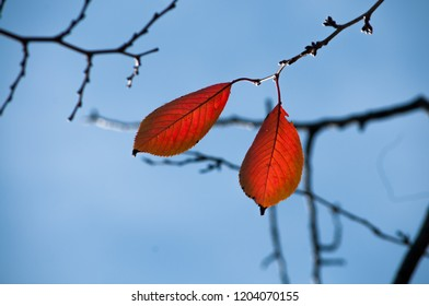 Cherry leaves in the fall season