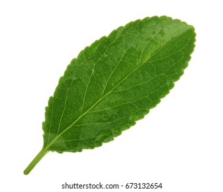 Cherry leaves isolated on white background