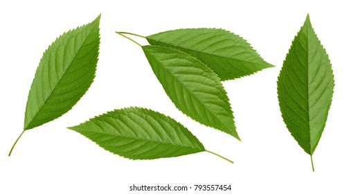 Cherry leaves isolated without shadow