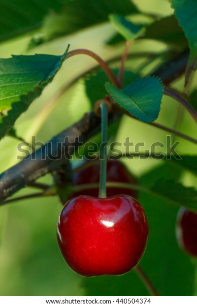 Cherry merry on tree macro closeup berry