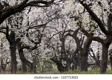 A cherry orchard in bloom in springtime. Background