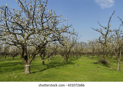 Cherry orchard in blossom through springtime, look from near, Pancharevo, Bulgaria