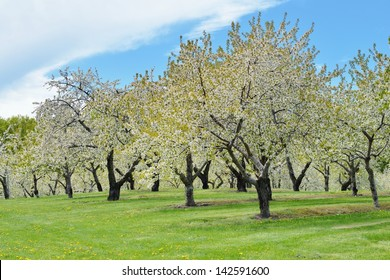 Cherry Orchard trees in full blossom, Traverse City, Mi