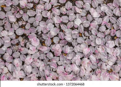Cherry petals piled on the ground