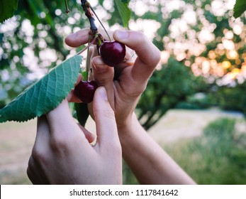 Cherry picking during sunset