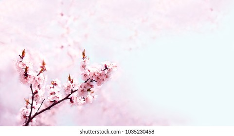 Cherry pink blossoms close up. Blooming cherry tree. Spring floral background. Copy space. Place for text. Wide format