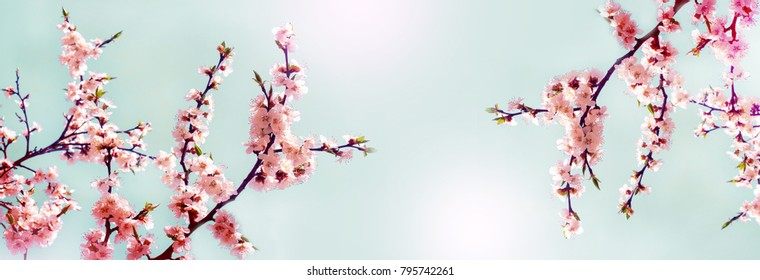 Cherry pink blossoms close up. Blooming cherry tree. Spring floral background.  Place for text. Panoramic format