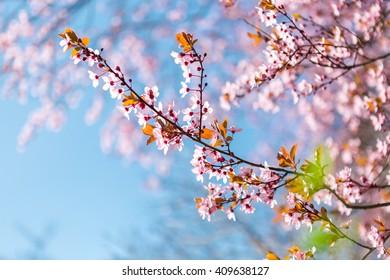 Cherry plum (Atropurpurea)