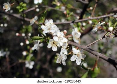 Cherry plum in bloom