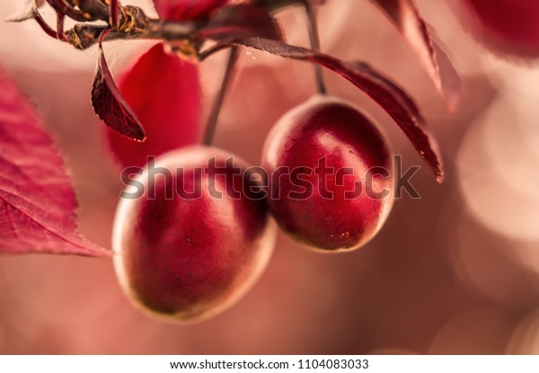 Cherry plum myrobalan fruit close up detail