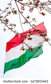 Cherry plum Prunus cerasifera branch with blossom against blurred Hungarian flag background in spring, Hungary