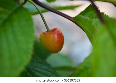 Cherry (Prunus avium) ripening on tree