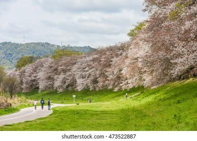 Cherry (Sakura) blossoms by Sewaritei River Bank in Yawatashi, Kyoto Japan