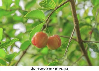 Cherry Thailand.
