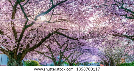 Cherry three  branches with cherry blossoms backgrounds