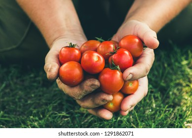 Cherry tomato. Farmer with harvested tomatoes in hands. Fresh farm vegetables, organic farming concept.