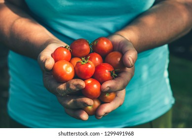 Cherry tomato. Farmer with harvested tomatoes. Farm fresh vegetables from the garden, organic farming concept.