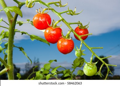 Cherry tomato plant against a blue sky.