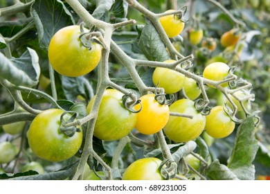 Cherry tomatoes growing