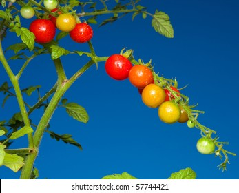 Cherry tomatoes growing on a vine.