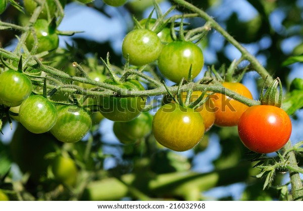 cherry tomatoes plant at vegetables bed