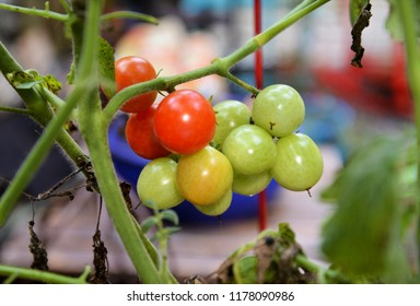 Cherry tomatoes ripen on vine in a summer garden