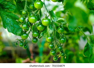 Cherry tomatoes, ripening on the vine in a greenhouse.