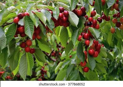 Cherry Cherry tree