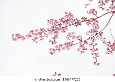 Фотообои cherry tree in bloom