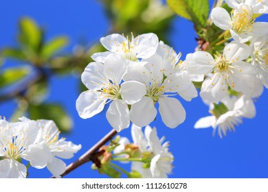 cherry tree bloom in spring day