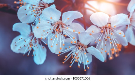 Cherry tree blooming, beautiful natural background, gentle little white flowers on the fruit tree branch, beauty of spring orchard in the evening