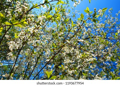 Cherry tree blooms spring many small stock photo edit now cherry tree blooms in spring many small white flowers blue sky spring mood mightylinksfo