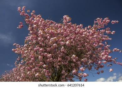 Cherry tree blossom against a blue sky.