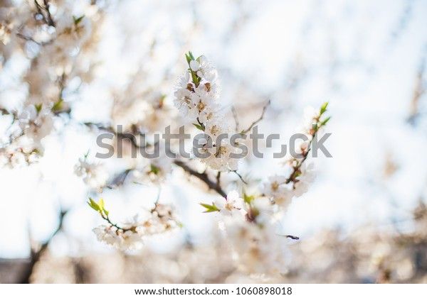 Cherry tree blossom with blurry background