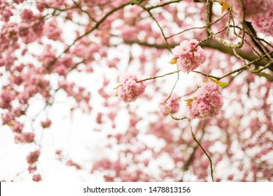 Cherry tree blossom during spring time