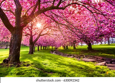 Cherry tree blossom explosion in Hurd Park, Dover, New Jersey. Same trees, with green summer foliage, can be found by searching for photo ID: 707340079