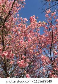 Cherry tree blossom at Ibirapuera Park, Sao Paulo, Brazil. Beautiful, delicate and romantic pink sakura flowers. Sunny day