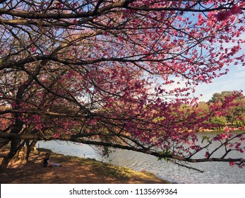 Cherry tree blossom at Ibirapuera Park, Sao Paulo, Brazil. Beautiful, delicate and romantic pink sakura flowers. Sunny day. Awesome landscape by the lake.